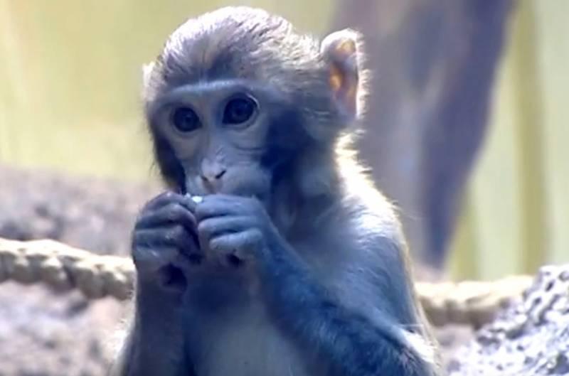 В Китае вывели обезьян с внедренным человеческим геном